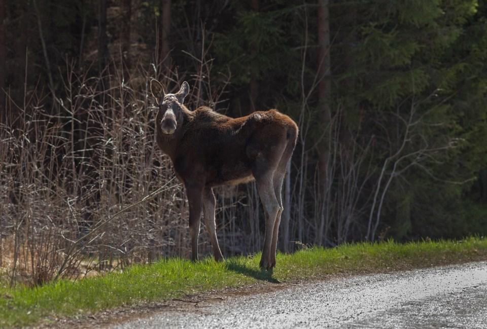 moose on road shutterstock_189832838 2016