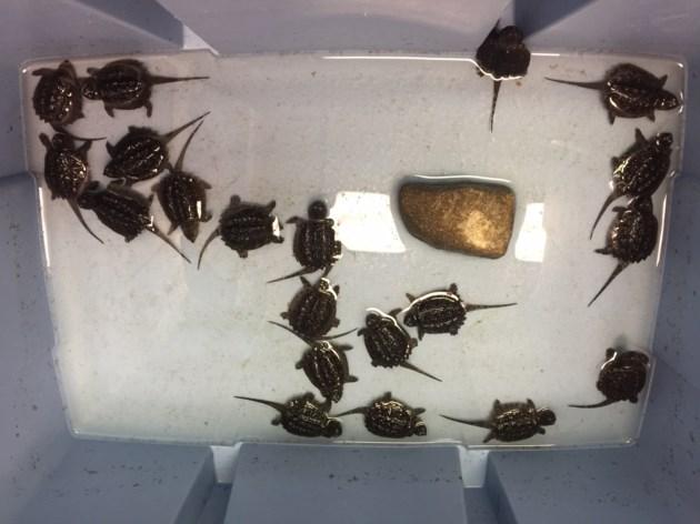 turtles kawartha lakes