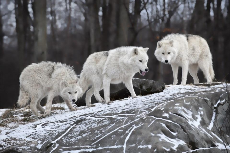 wolf pack AdobeStock_28649060 2017