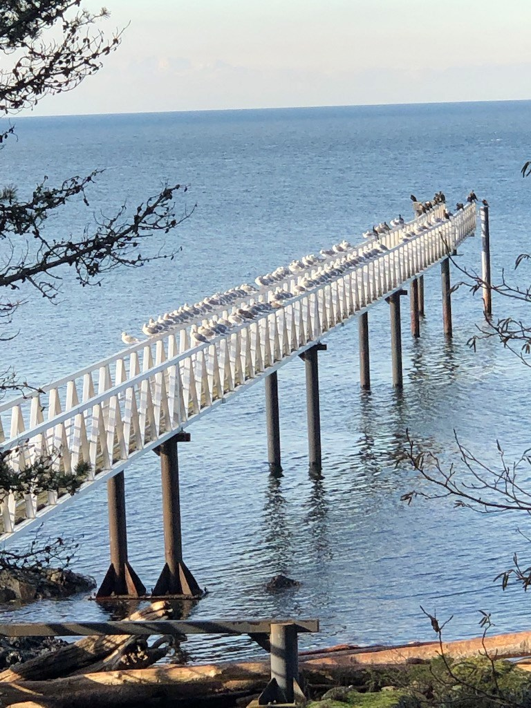 Dozens of seagulls lined up on dock railings at the Cape