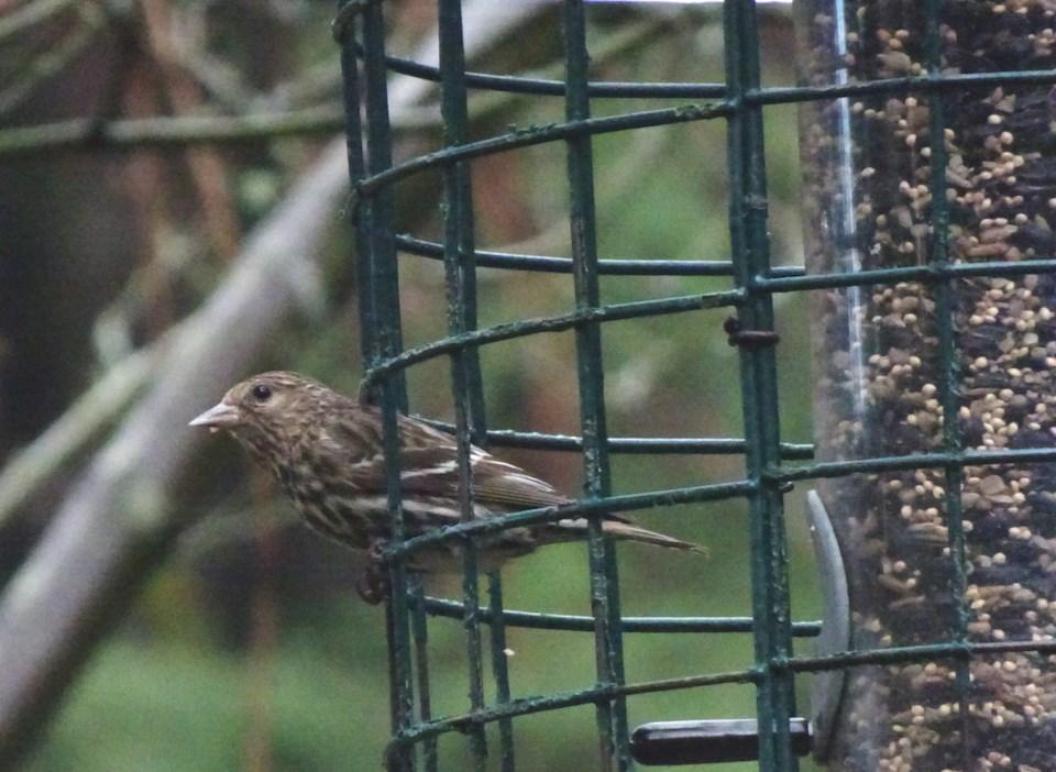 Pine Siskin at birdfeeder