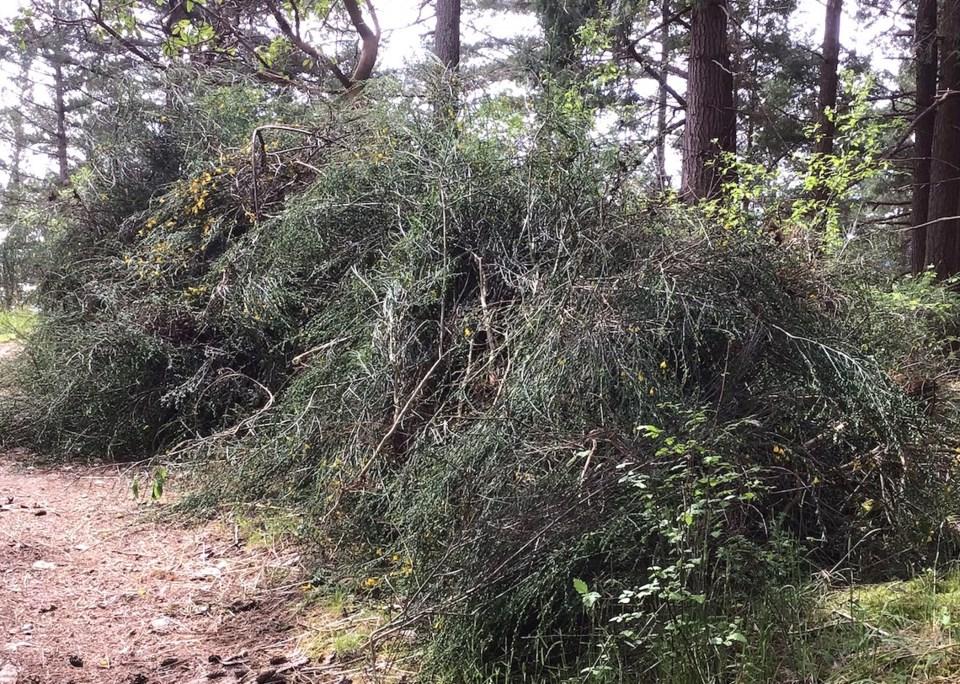 Bushes of Scotch broom