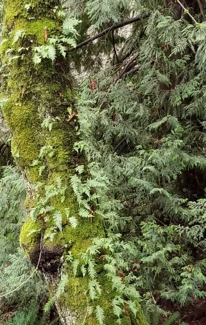 Licorice ferns growing on moss on a tree