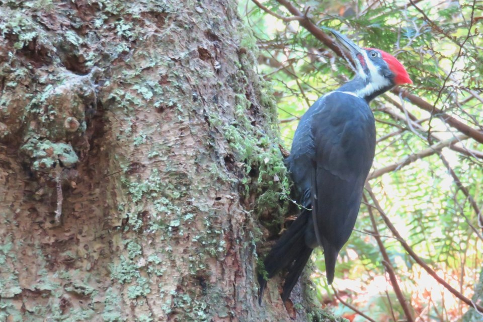 Aug-Pileated-JenRitchie 2
