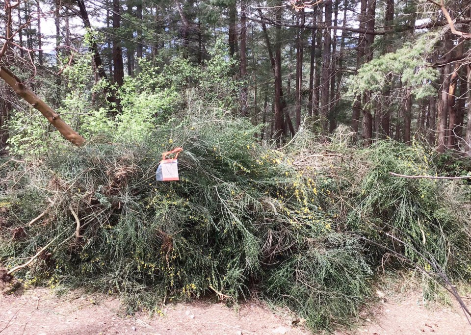 Ripped up bushes of Scotch broom