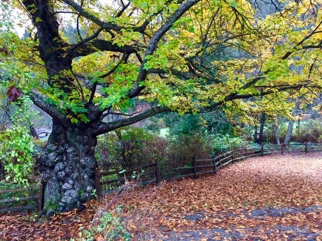 The chestnut in Davies Orchard