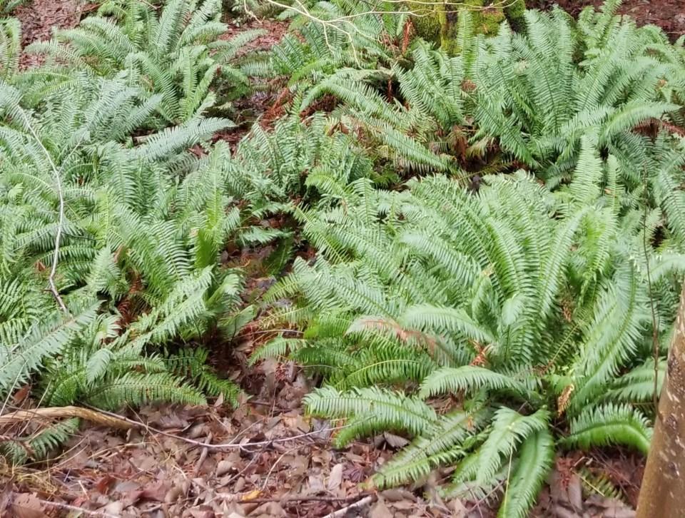 Western sword ferns