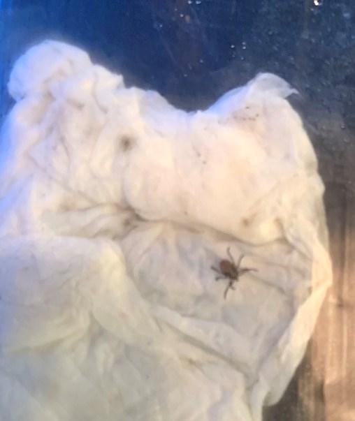 A tick on wet paper towel inside a baggie