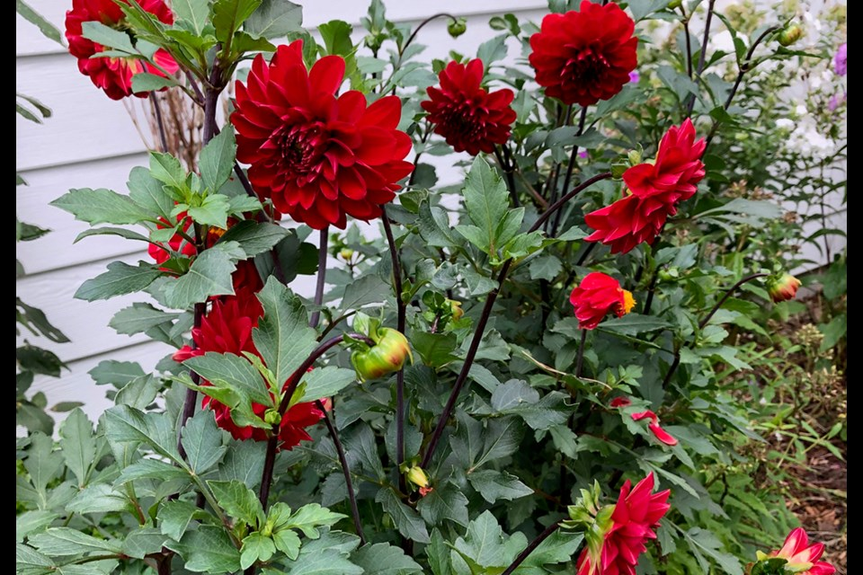Dahlias still add a splash of colour. Judith Rogers/SUBMITTED photo