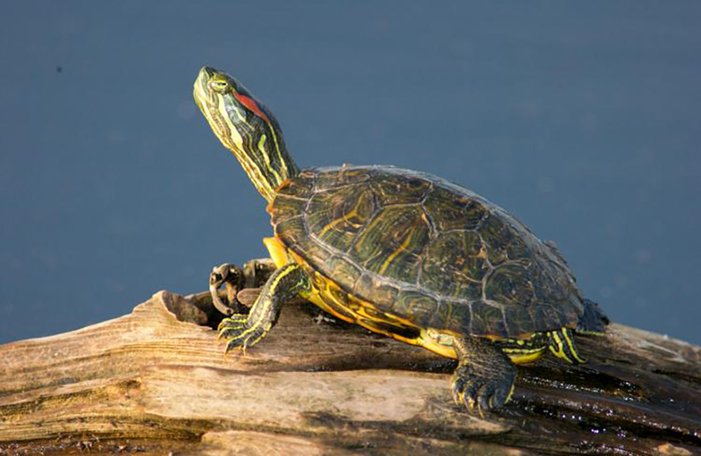 Never Buy A Pet Turtle Says Reptile Rescuer Baytoday Ca