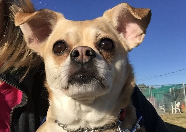 Chloe the pug/chihuahua mix is up for adoption at the Alliston & District Humane Society. Submitted photo