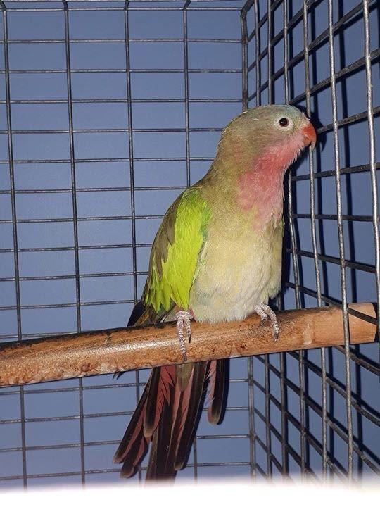 2018-08-28-Bobby the Parakeet