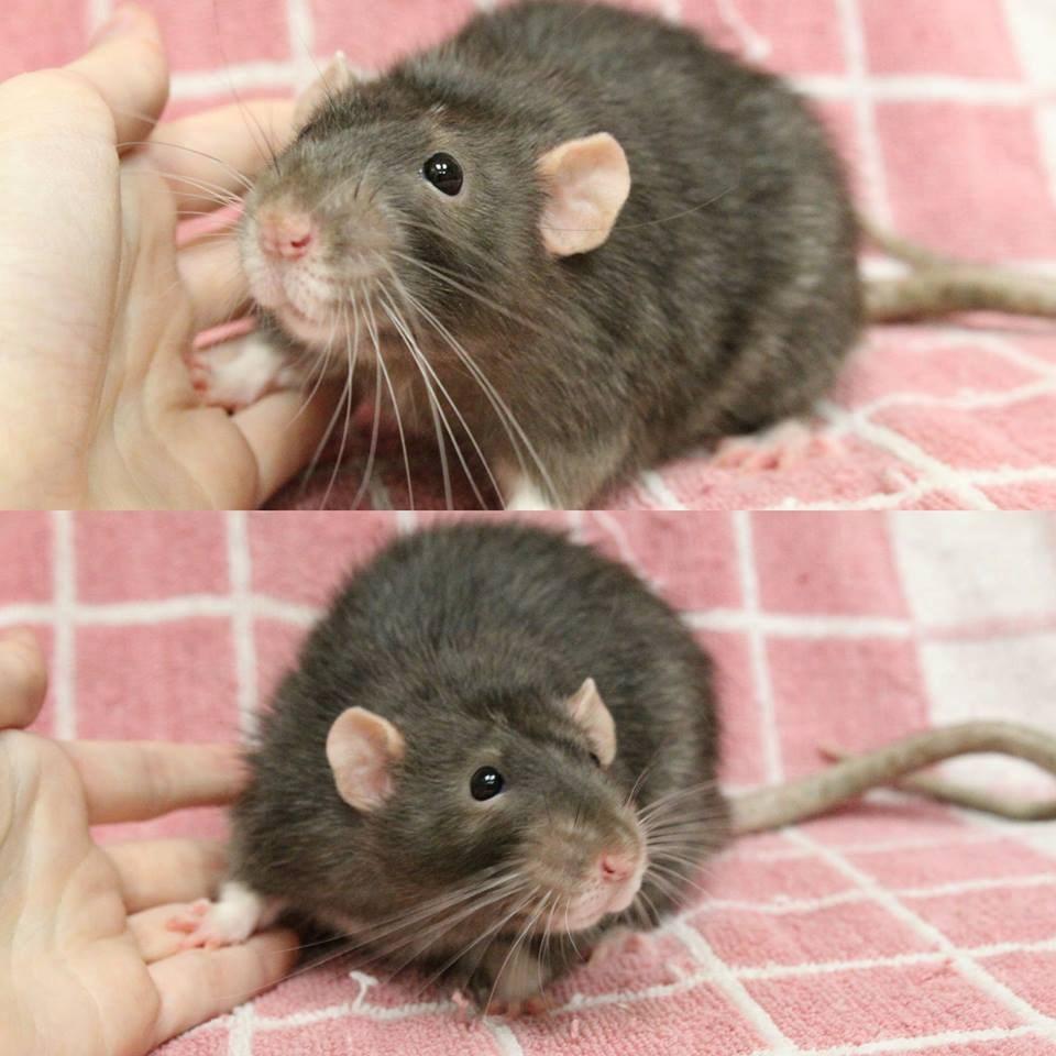 2018-08-28-Rats