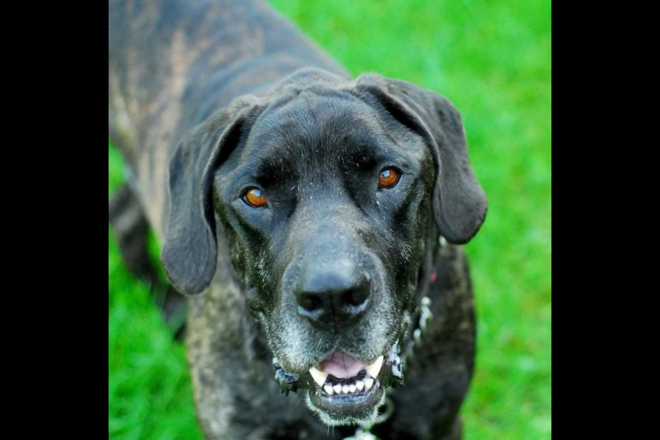Ace is up for adoption at the Alliston and District Humane Society. Submitted photo