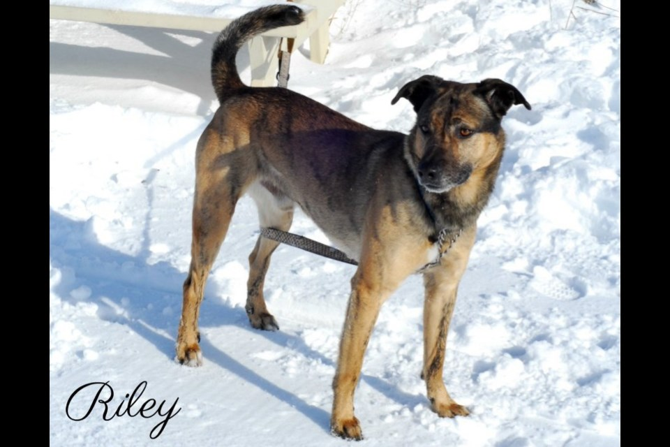 Riley is up for adoption at the Alliston & District Humane Society. Submitted photo