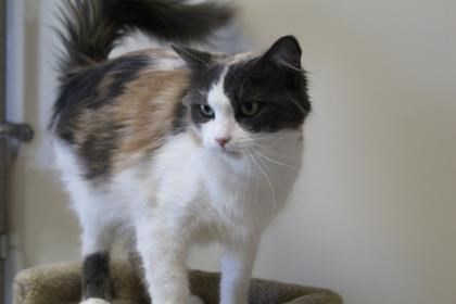 Cachou is up for adoption at the Alliston and District Humane Society. Submitted photo