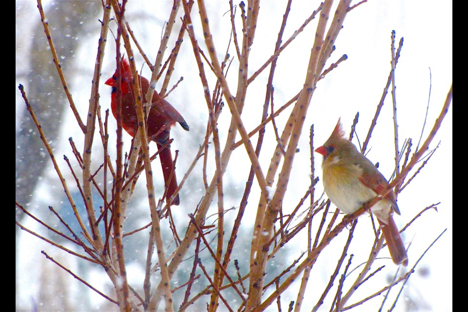 These sweethearts, a male (left) and female Cardinal, are just one species of bird that may be discovered near you through the Great Backyard Bird Count (GBBC) that starts on Valentines Day and continues to February 17. A checklist for participants can be downloaded at gbbc.birdcount.org and information added online to record species seen within at least a 15 minute period on one or more days of the count.  Rosaleen Egan for Bradford Today.