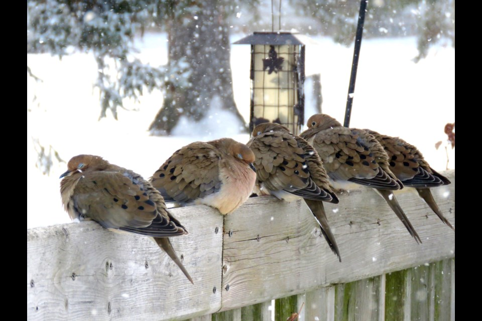 Some birds, such as these Mourning Doves, line up nicely to be counted. GBBC asks that for large groupings difficult to count,  participants make their best guess at the number. Rosaleen Egan for Bradford Today.