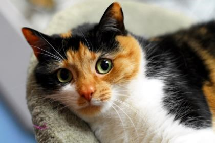 Kicia is up for adoption at the Alliston and District Humane Society. Submitted photo