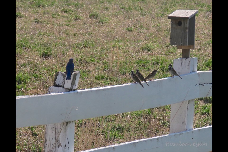 There was great bird chatter as the House Sparrow brought in reinforcement to protect his home from the male Eastern Bluebird (Left). Generally, House Sparrows are the aggressors.