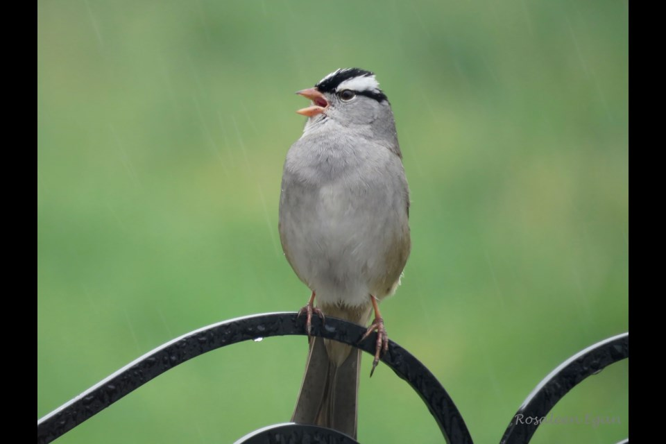 After commiserating with this White-crowned Sparrow about all the rain, it broke into song, changing my mood.