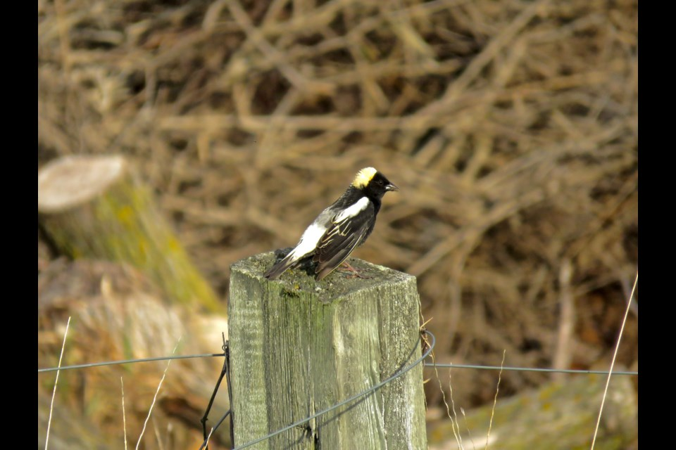 This male Bobolink sits above the ground so his mating song can carry across the field. Bobolinks sing as they fly also to attract mates. His dapper look is achieved by fully molting from winter browns and beige, similar to females, before flying from South America to breeding grounds here. Rosaleen Egan for Bradford Today.