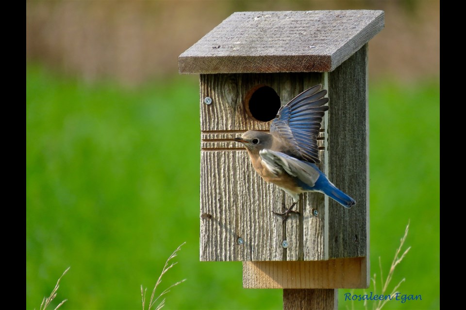 I am delighted, and a little confused, the Eastern Bluebirds are back at the nesting boxes. I hadn't seen bluebirds around since mid-summer.  Rosaleen Egan for Bradford Today