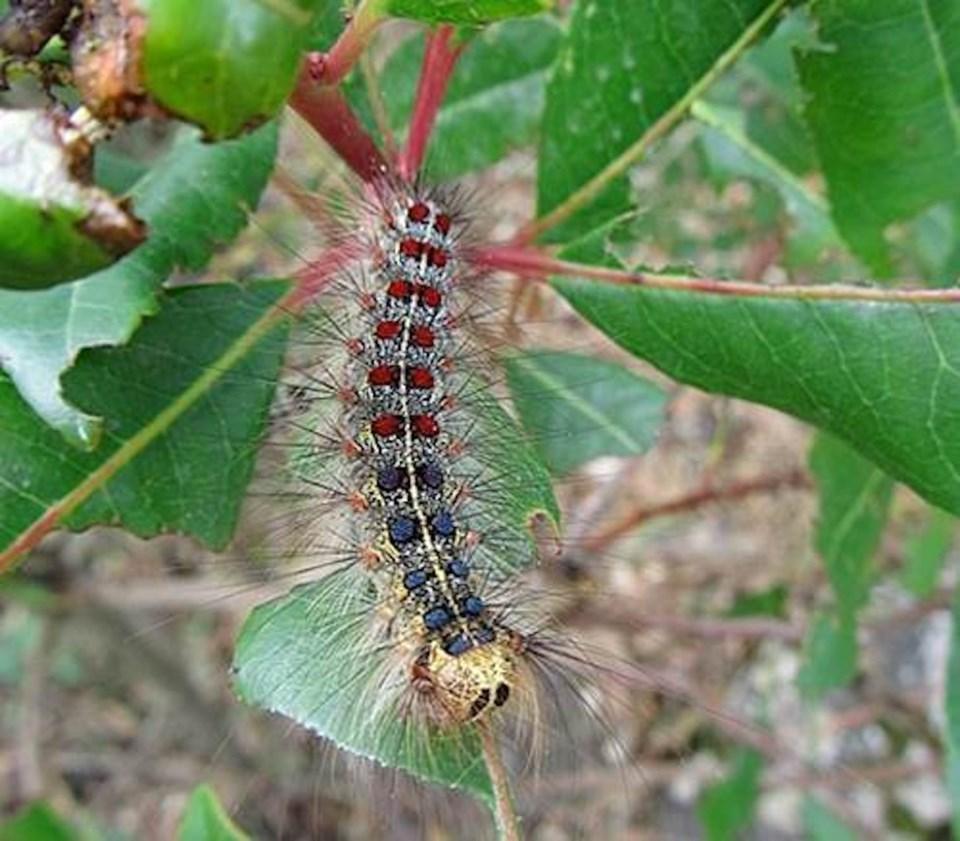 2021-05-04 - European Gypsy Moth