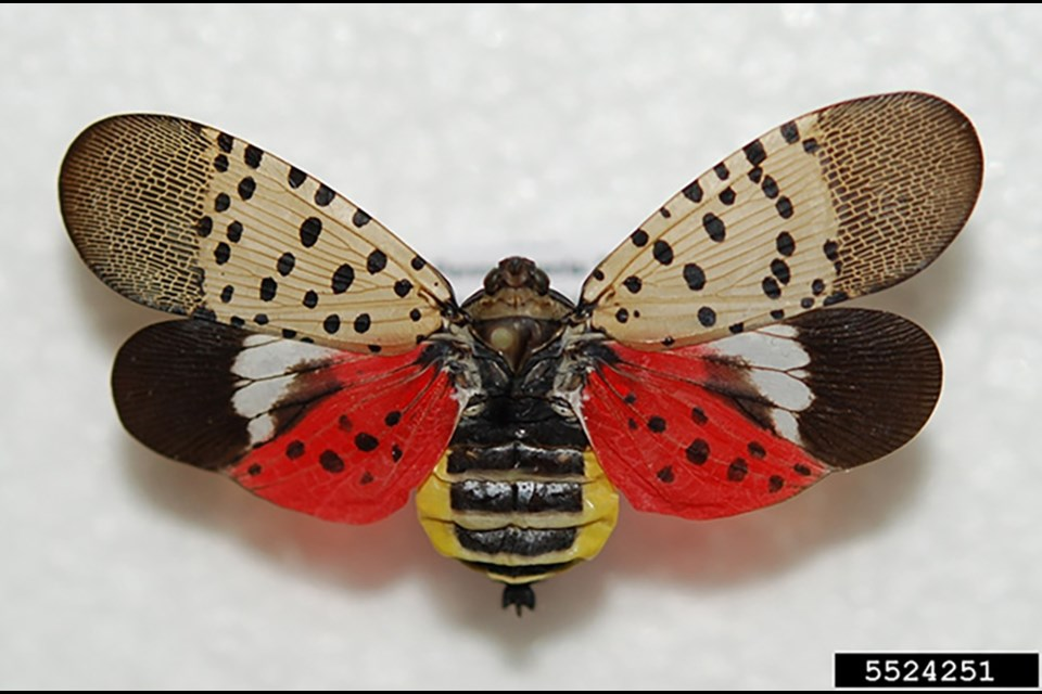 Spotted lanternfly adult. Photo by Lawrence Barringer, Pennsylvania Dept. of Agric., from CFIA information on Spotted lanternfly.