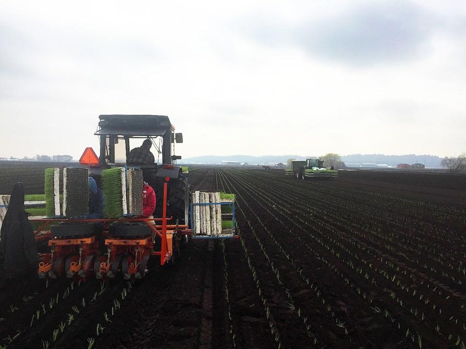 Holr-Mar Farms_Onion Planting (1)