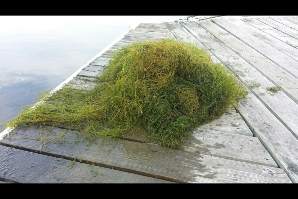 Starry stonewort forms dense tangles that resemble cushions. Here, a clump of starry stonewort pulled from Lake Simcoe. Submitted photo