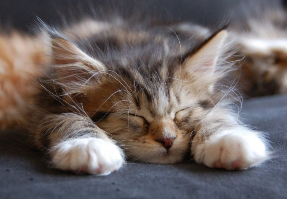 kitten fraud 3