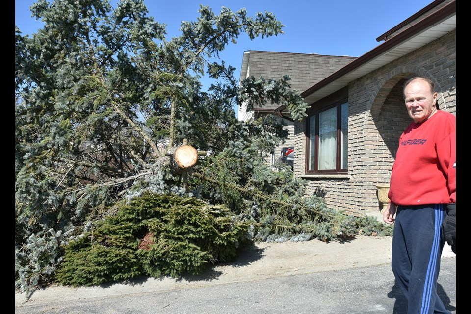 Rick Walker surveys the 39-year old-spruce tree that came down in high winds – hitting his cars in the driveway. Miriam King/Bradford Today