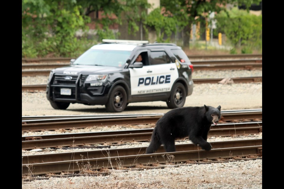 A young bear was tranquilized after wandering into downtown New Westminster on Sunday afternoon.