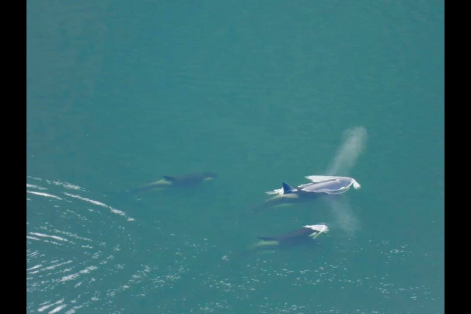 Killer whales were spotted swimming in Finlayson Arm on Feb. 24, 2021.