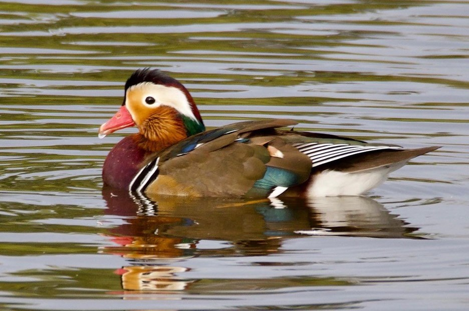 A local photographer thinks this duck is the offspring of the Mandarin duck.