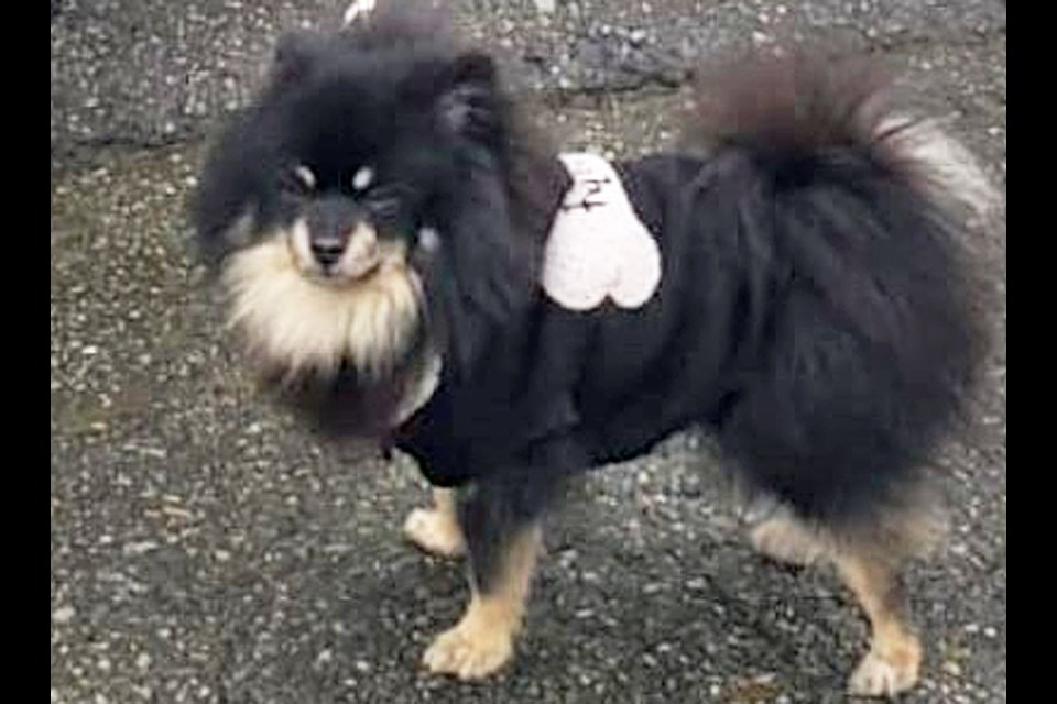 Peggles the Pomeranian has been reunited with his owners after being seized from a stolen SUV by Burnaby RCMP.