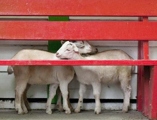 Queen's Park petting farm goats