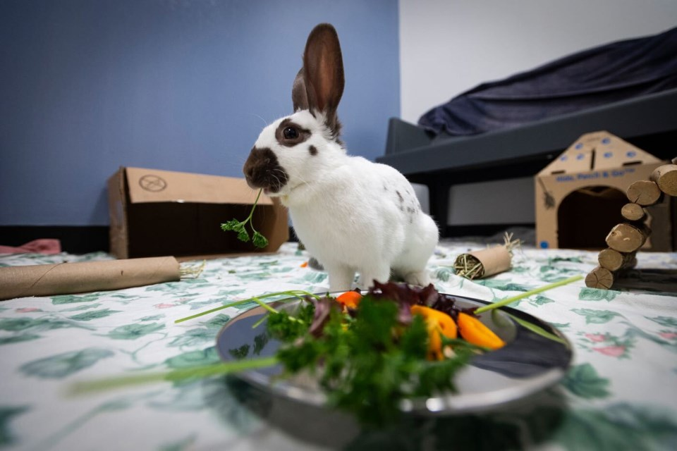 A large number of bunnies are currently calling the New Westminster Animal Shelter home after being located in Queensborough. While they were malnourished when located, these were the lucky ones, as others were found dead or in critical condition.