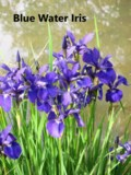 Blue water-iris with name