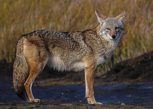N.Coyote-2