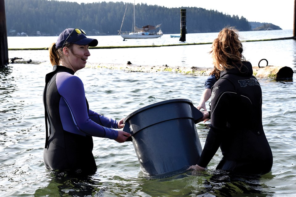 Curator Jenny Wright and staff from Nicholas Sonntag Marine Education Centre prepare to release the resident giant Pacific octopus in Gibsons on April 6.