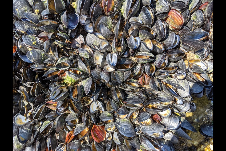 A closeup of dead mussels in Selma Park shows the exposed and decaying tissue, after the June heat wave.