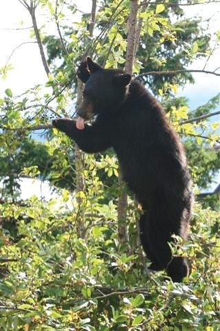 N.Spring bears