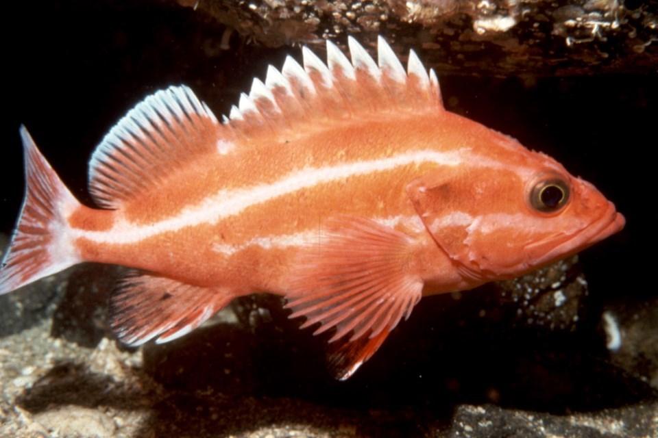 yelloweye-rockfish