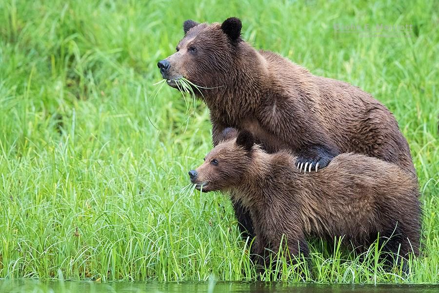 A bear of bears snack on grass in the Khutzeymateen Grizzly Bear Sanctuary in B.C. JOHN MARRIOTT PHOTO