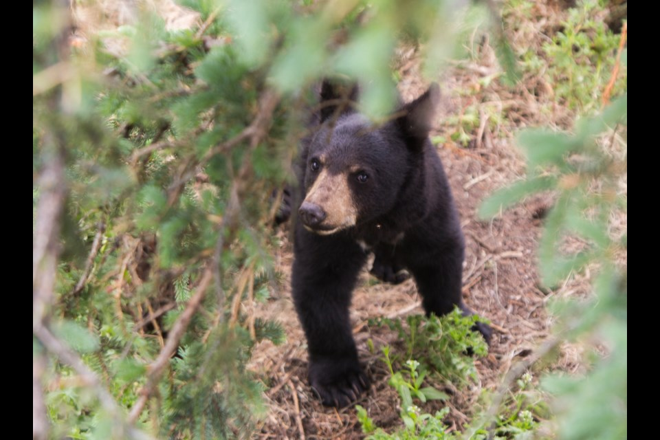 A black bear roams its enclosure at the Cochrane Ecological Institute on in June 2020. File Photo