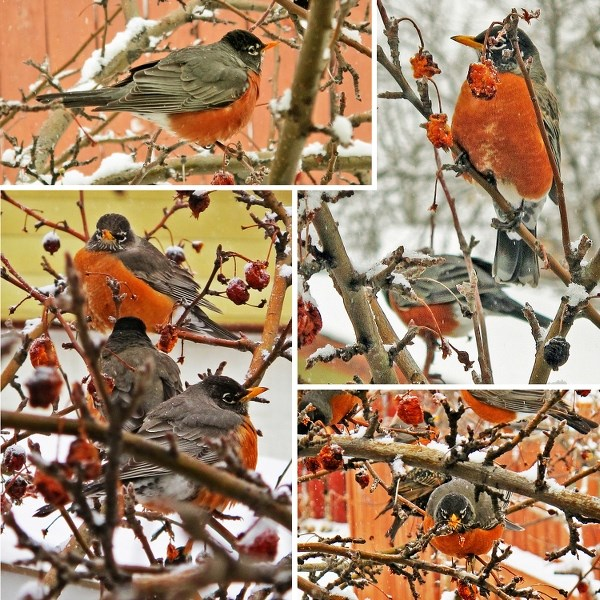 A hope-filled sign of spring, robins descend on columnist's backyard apple tree near bedroom window and are greeted by his camera-toting wife.