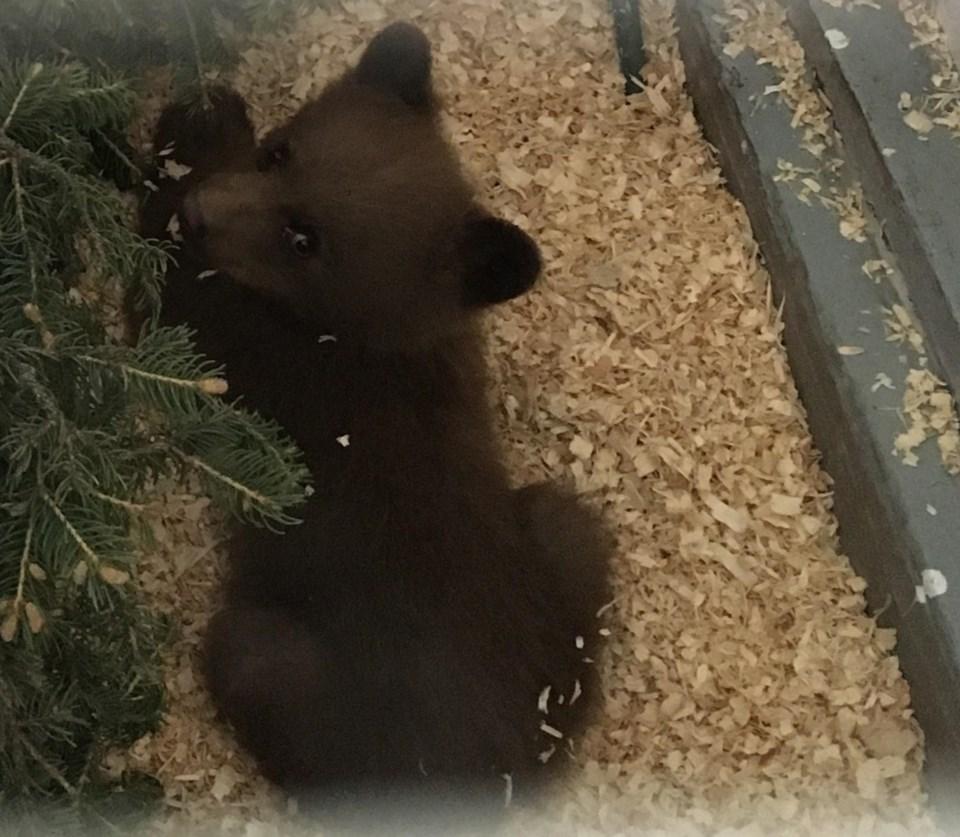 Bear Cub Charlie PRINT