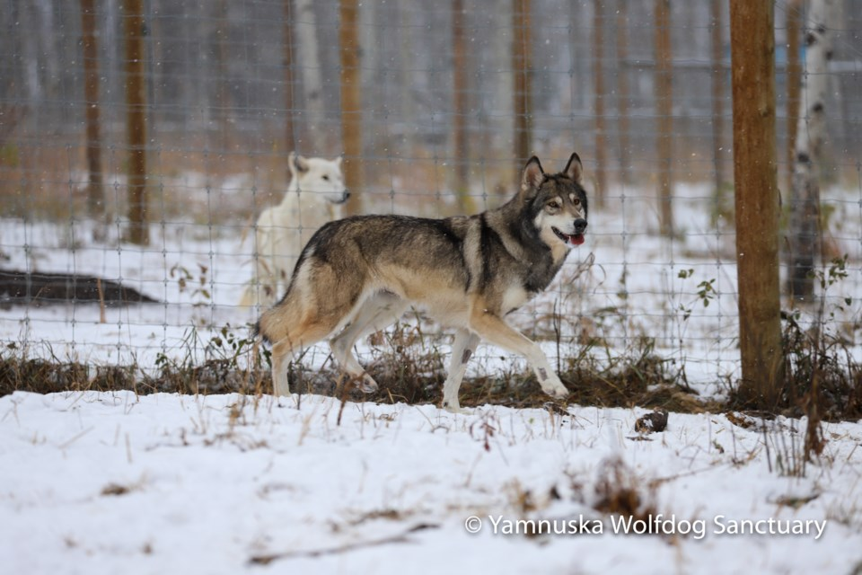A curious wolfdog explores the perimeter of its new enclosure. Photo submitted